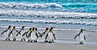 King Penguins coming home from sea, Volunteer Point, Falkland Islands