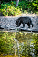 Black Bear Reflection