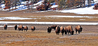 Bison grazing in Yellowstone National Park, Winter 2010