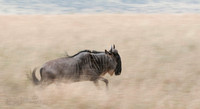 Wildebeest running at high speed through the tall grasses of the Serengeti.  My impression of the Wildebeest is that they find joy in running... they are constantly on the move.