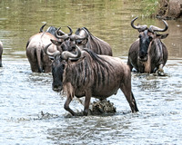 Wildebeest at the watering hole