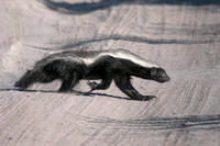 Honey Badger - Africa