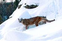 Mountain Lion, CA