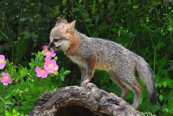 Baby gray foxes - photo#25